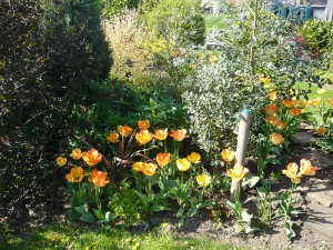 Tulips in the front garden