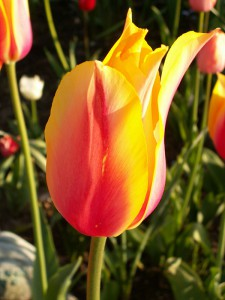 Tulips in bloom at Manton Lodge
