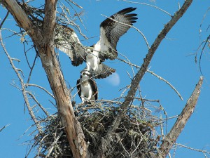 Ospreys at Rutland