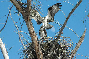 The Ospreys at Rutland Water - If you are a keen birder you must visit the Rutland Nature Reserve.